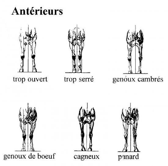 aplomb-anterieur-face